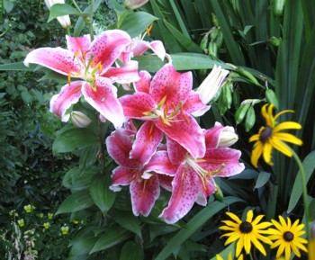 Black-eyed Susans and Stargazer Lilies