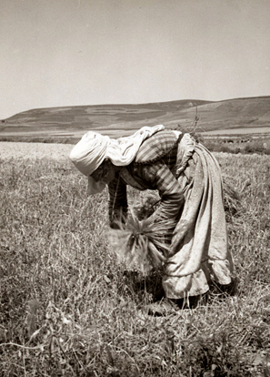 Woman gleaning in the Alawite territory of Syria, 1938. From the John D. Whiting papers, Library of Congress.