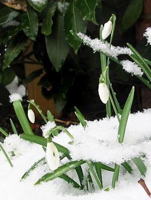 Imbolc snowdrops. Wikipedia image.